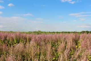 The beautiful Clary Sage, a healing plant with a long tradition, is now available as the highest quality essential oil at Essences Bulgaria.
